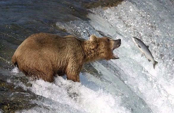 Bear catching salmon